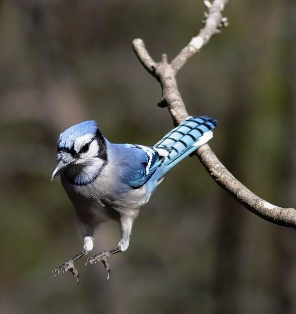 The Blue Jay